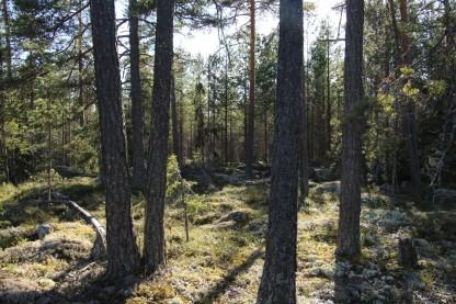 Trädstammar som njuter av kvällssolen