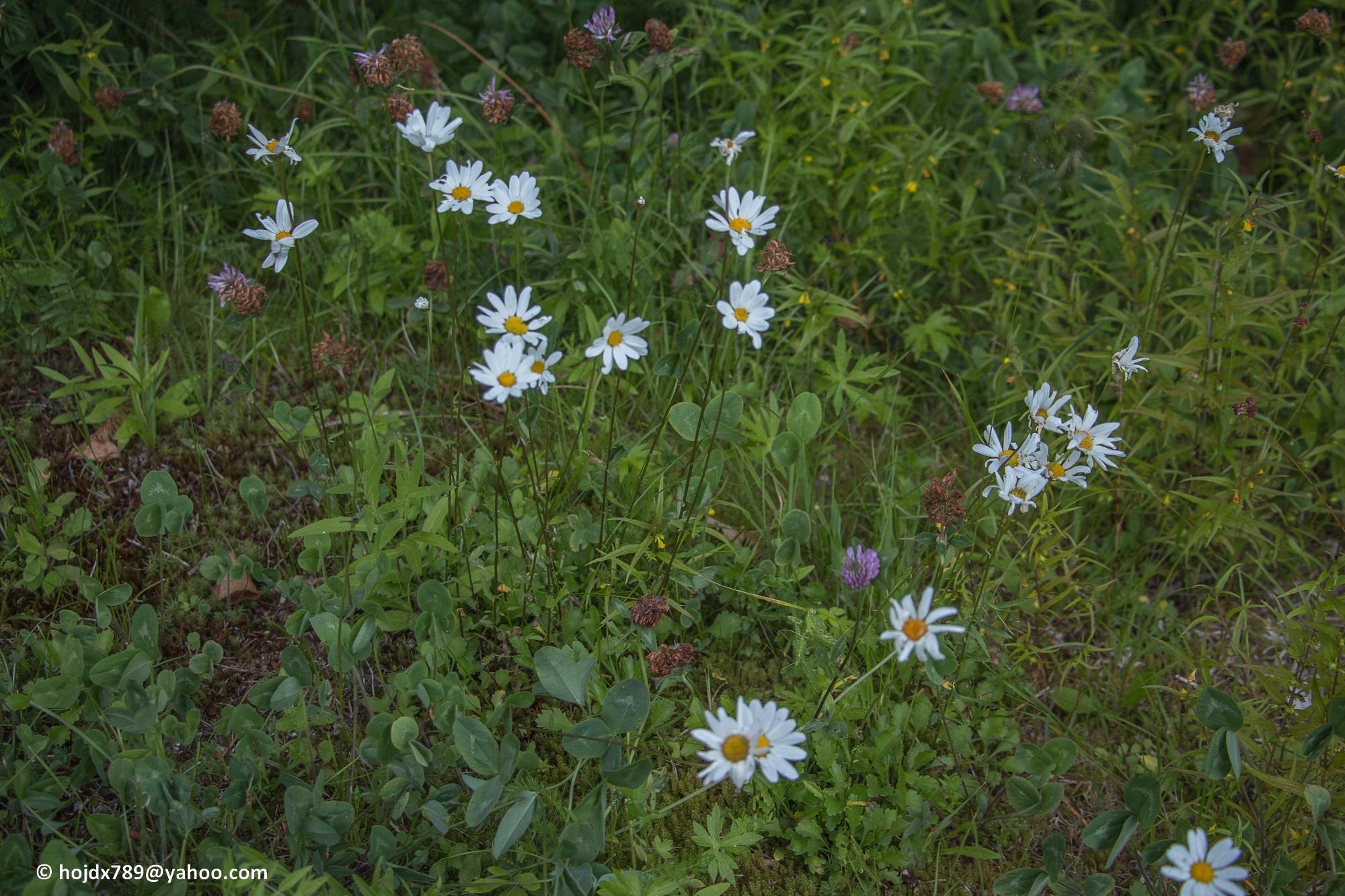 2016-07-24 blommor (2)