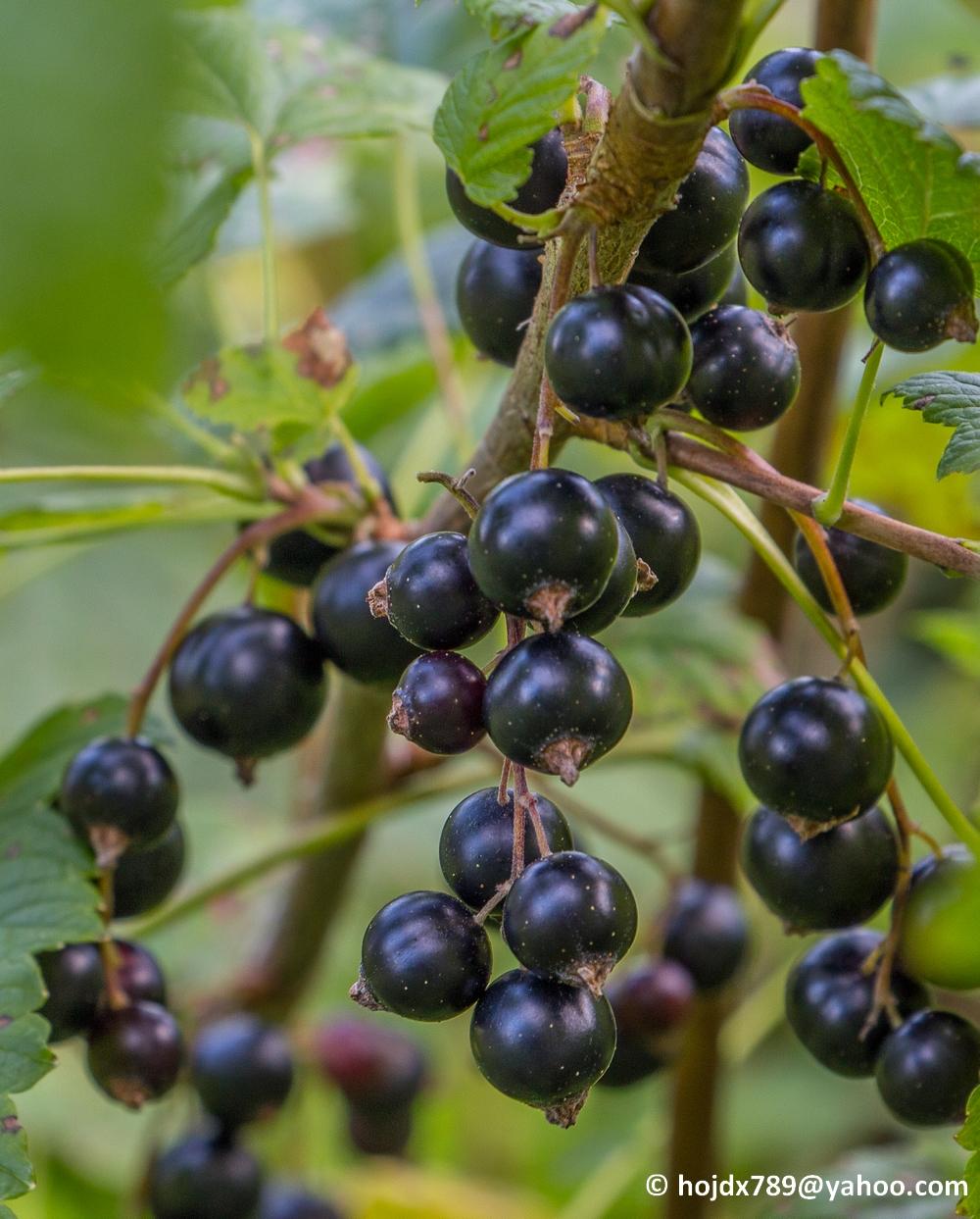 2016-07-28 svarta vinbär 036