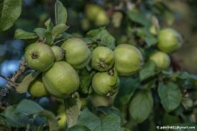 Gröna små äppeln